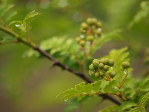 サンショウの木の写真素材 [FYI00137371]