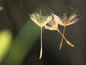 クモの巣にかかったバラモンジンの写真素材 [FYI00137634]