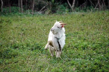 紐をくわえる島ヤギの写真素材 [FYI00137638]