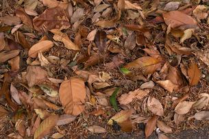 Dry leavesの写真素材 [FYI00137710]
