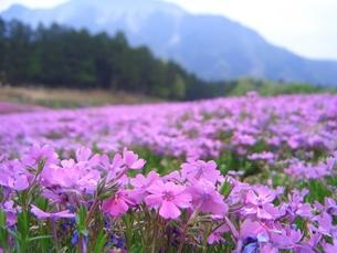 芝桜の素材 [FYI00137762]