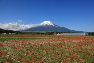 富士山とポピーの写真素材 [FYI00138914]