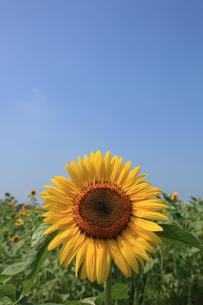 青空と向日葵の写真素材 [FYI00138915]