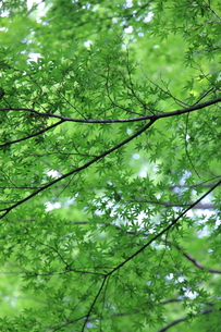 新緑のもみじの写真素材 [FYI00138960]