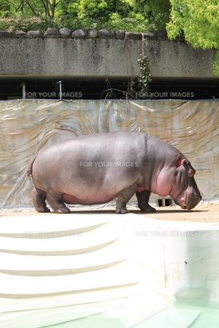 上野動物園のカバの写真素材 [FYI00139003]