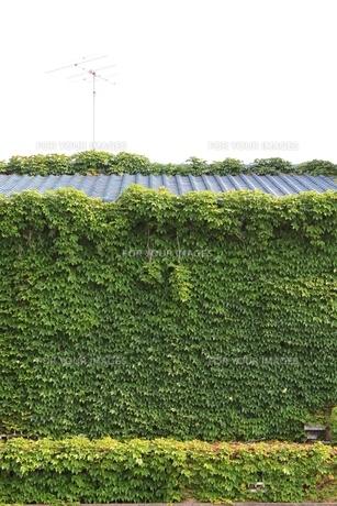 緑のカーテンの素材 [FYI00139155]