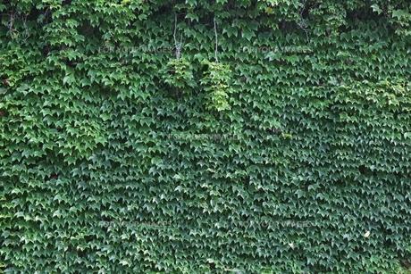 緑のカーテンの素材 [FYI00139163]