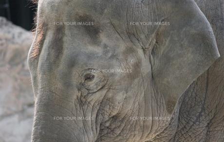アジアゾウの写真素材 [FYI00139257]