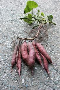 サツマイモの収穫の写真素材 [FYI00139274]