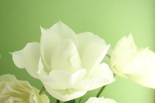 白いバラの写真素材 [FYI00139405]