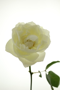 ホワイトローズの写真素材 [FYI00139422]
