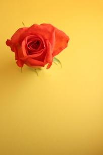 オレンジローズのつぼみの写真素材 [FYI00139423]