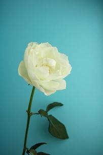 ホワイトローズの写真素材 [FYI00139427]