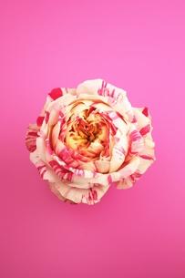 薔薇/パーティラナンキュラスの写真素材 [FYI00139435]