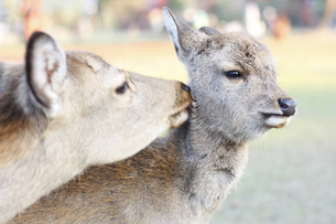 deerの写真素材 [FYI00139530]