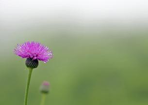 高原植物の写真素材 [FYI00139603]
