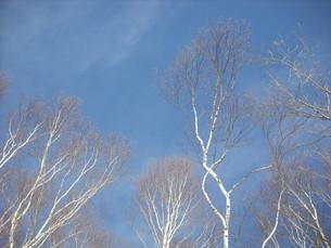 青空と白樺の写真素材 [FYI00139643]
