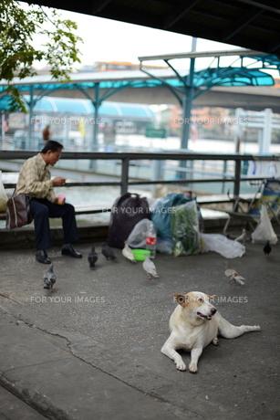 タイ船着き場での犬とハトの写真素材 [FYI00139678]