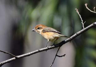 モズの幼鳥の写真素材 [FYI00139729]