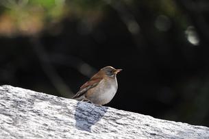 石の上に立つシロハラの写真素材 [FYI00139739]
