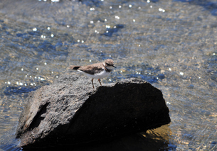 石の上に立つハジロコチドリの写真素材 [FYI00139741]
