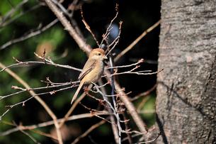 小枝に止まり暖かい日差しを浴びるモズの写真素材 [FYI00139773]