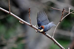羽を広げて小枝から飛び立つ寸前のヤマガラの写真素材 [FYI00139796]