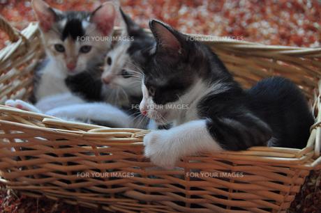 かごのふちにつかまる三毛猫の赤ちゃんの写真素材 [FYI00139811]