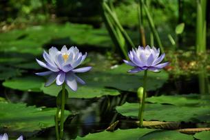 静かに咲く睡蓮の花とつぼみの写真素材 [FYI00139821]