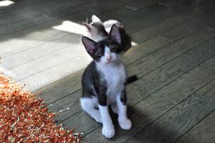 こちらを見つめる三毛猫のオスの赤ちゃんの写真素材 [FYI00139828]