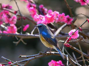 ルリビタキと梅の木の写真素材 [FYI00139896]