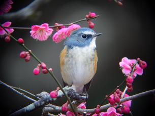 ルリビタキと梅の木の写真素材 [FYI00139902]