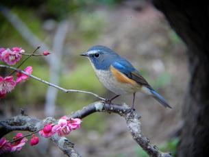 ルリビタキと梅の木の写真素材 [FYI00139903]