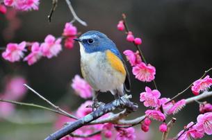 ルリビタキと梅の木の写真素材 [FYI00139909]