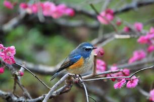 ルリビタキと梅の木の写真素材 [FYI00139911]