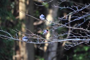 ウソと桜の木の写真素材 [FYI00139913]