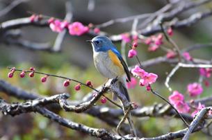 ルリビタキと梅の木の写真素材 [FYI00139939]