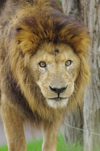 睨むオスライオンの写真素材 [FYI00140858]
