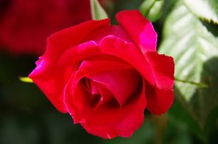 眩しい紅色の薔薇の写真素材 [FYI00140868]