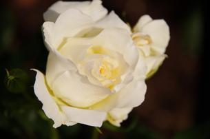 フリルが見ごろなアイボリーの薔薇の写真素材 [FYI00140872]
