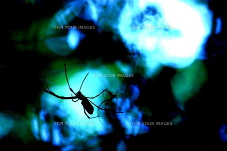 蜘蛛のシルエットの写真素材 [FYI00140967]