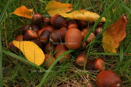 秋のドングリの素材 [FYI00140993]