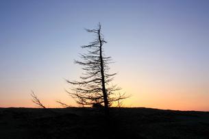 夜明け前の枯れ木のシルエットの写真素材 [FYI00141090]