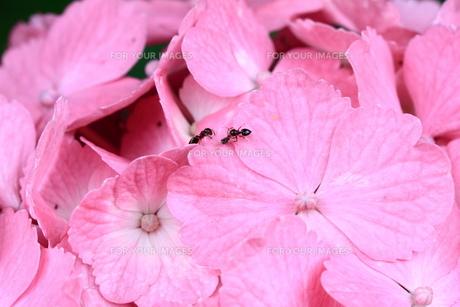 蟻とアジサイの写真素材 [FYI00141311]