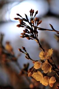 月明かりと桜の蕾の写真素材 [FYI00141680]