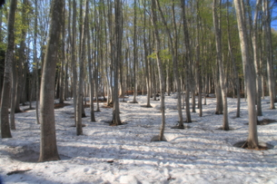 春の美人林の写真素材 [FYI00142061]