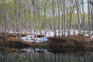 春のブナ林の写真素材 [FYI00142064]