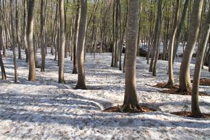 春の美人林の写真素材 [FYI00142085]