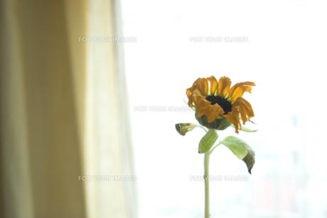 sunflowerの素材 [FYI00142187]