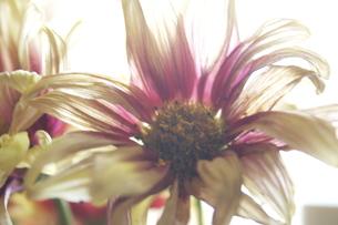枯れゆく花の写真素材 [FYI00142220]